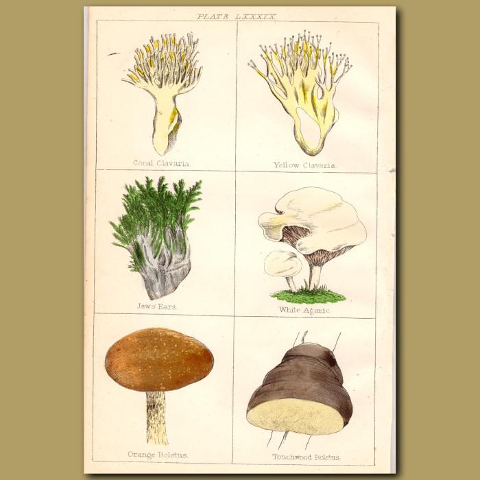 Mushrooms: Coral Clavaria, Yellow Clavaria, Jew's Ear: Genuine antique print for sale.