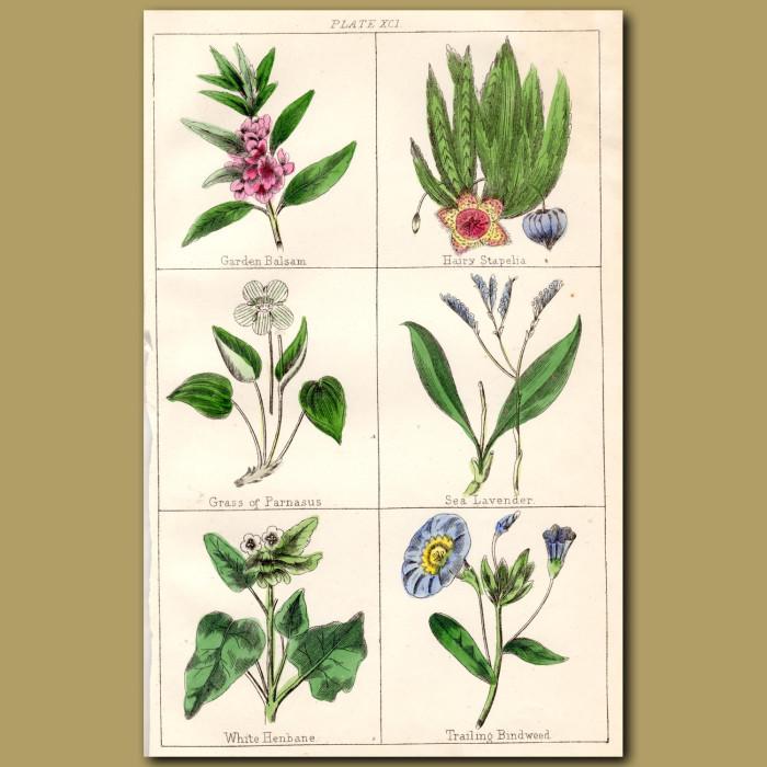 Garden Balsam, Hairy Stapelia, Grass of Parnasus: Genuine antique print for sale.