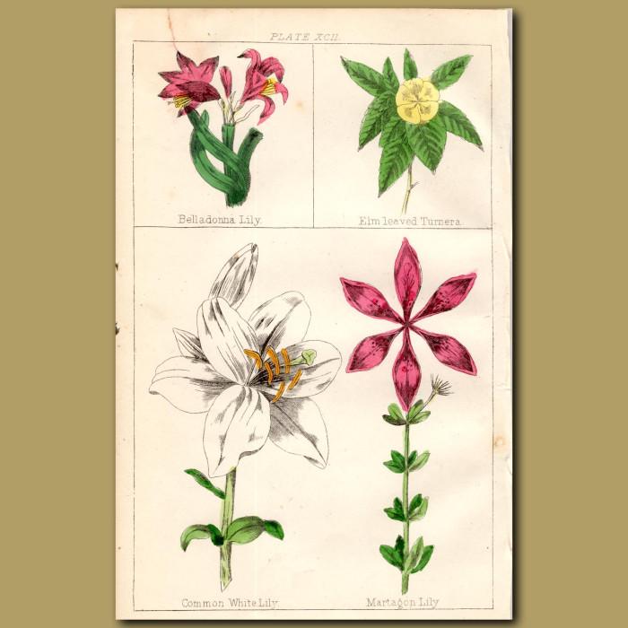 Belladonna Lily, Elm-leaved Turnera: Genuine antique print for sale.