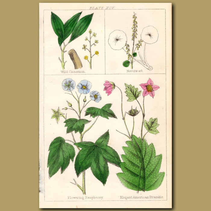 Wild Cinnamon, Flowering Raspberry: Genuine antique print for sale.