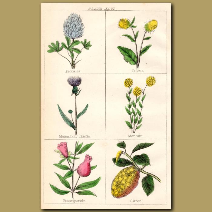 Pomegranate, Citron, Melancholy Thistle: Genuine antique print for sale.