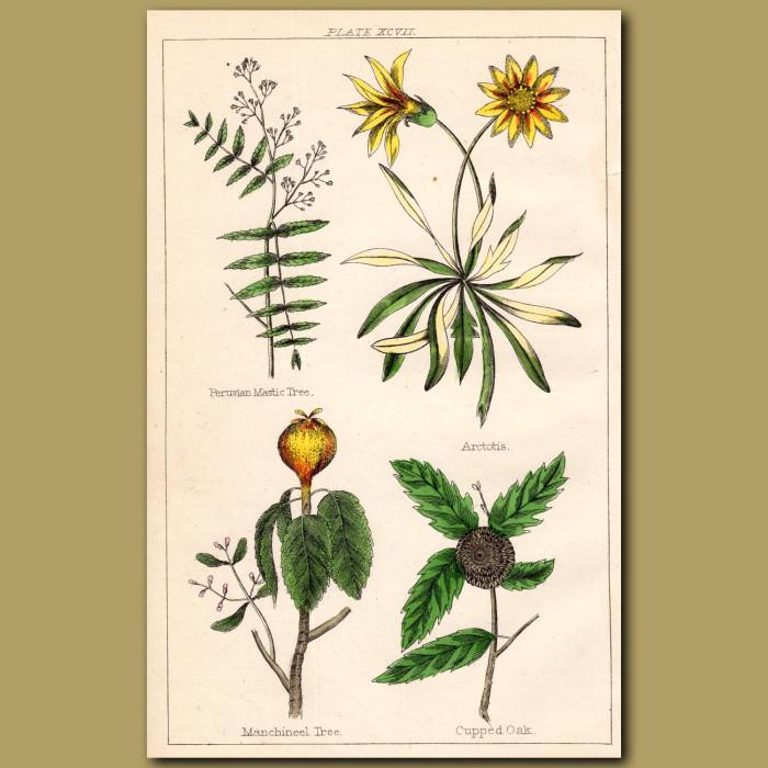 Peruvian Mastic Tree, Arctotis, Manchineel Tree, Cupped Oak: Genuine antique print for sale.