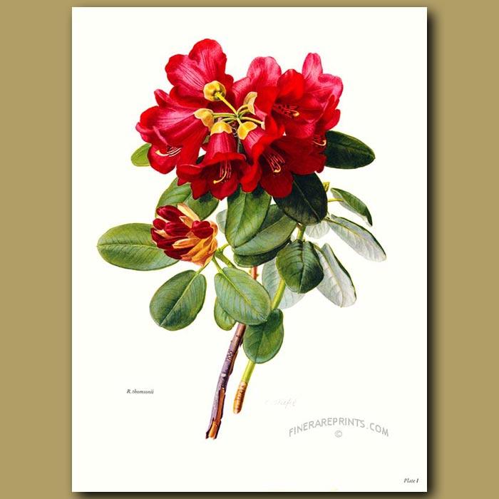 Antique print. Rhododendron Thomsonii