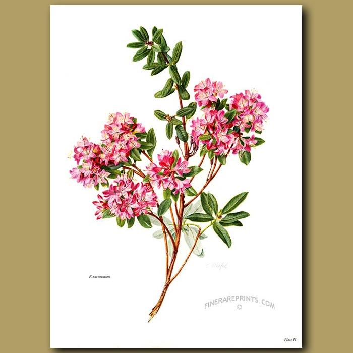 Antique print. Rhododendron Racemosum