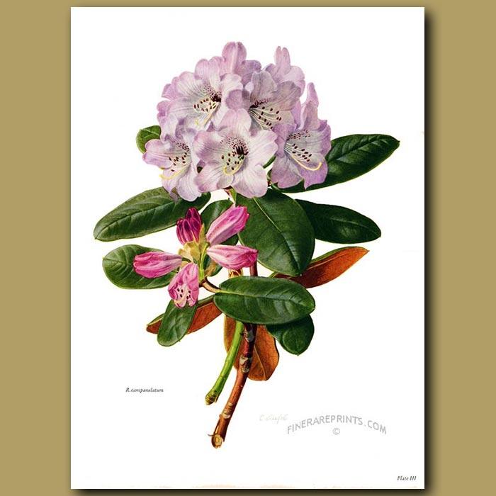Antique print. Rhododendron Campanulatum