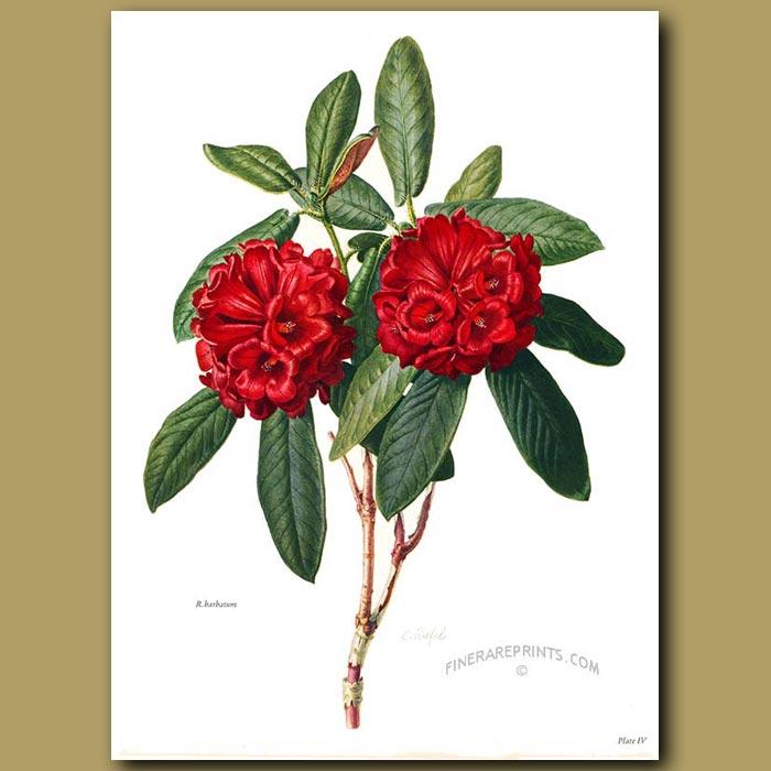 Antique print. Rhododendron Barbarum