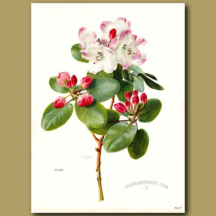 Antique print. Rhododendron Souliei