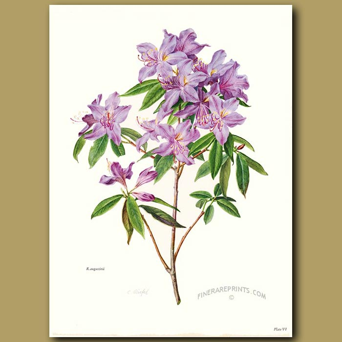 Antique print. Rhododendron Augustinii