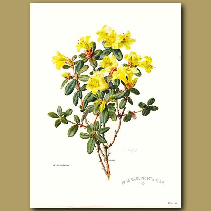 Antique print. Rhododendron Valentinianum