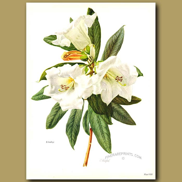 Antique print. Rhododendron Lindleyi