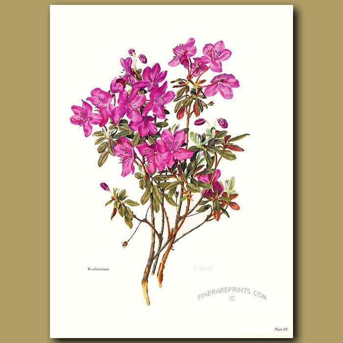 Antique print. Rhododendron Calostrotum