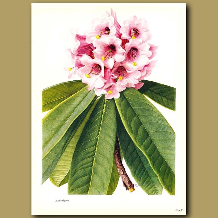 Antique print. Rhododendron Calophytum
