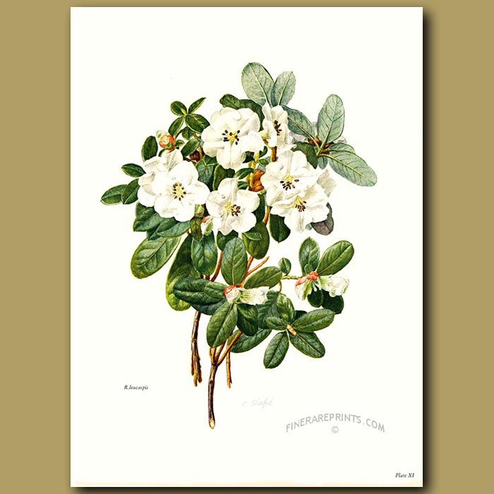 Antique print. Rhododendron Leucaspis