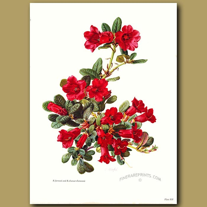 Antique print. Rhododendron Forrestii And Rhododendron Chamae-Thomsonii