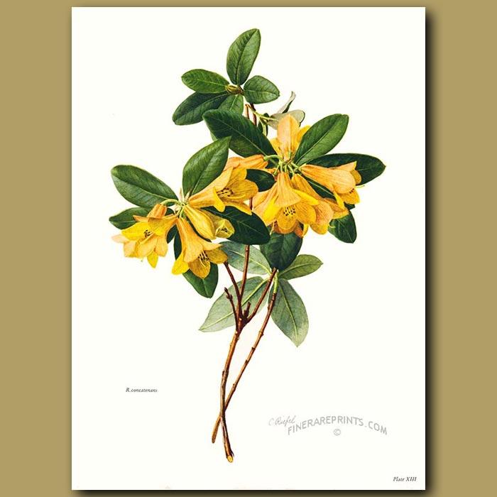 Antique print. Rhododendron Concatenans