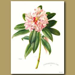 Rhododendron Insigne