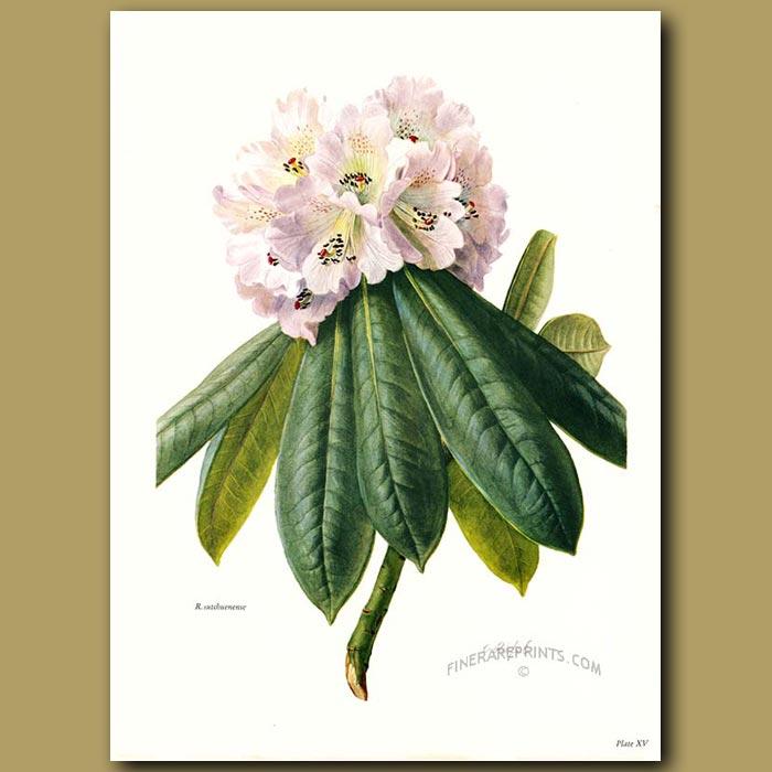 Antique print. Rhododendron Sutchuenense
