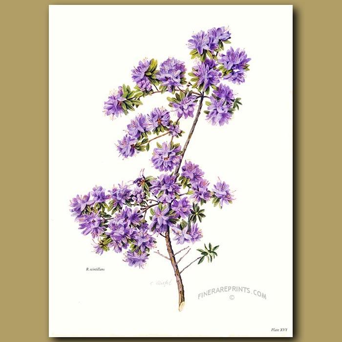 Antique print. Rhododendron Scintillans