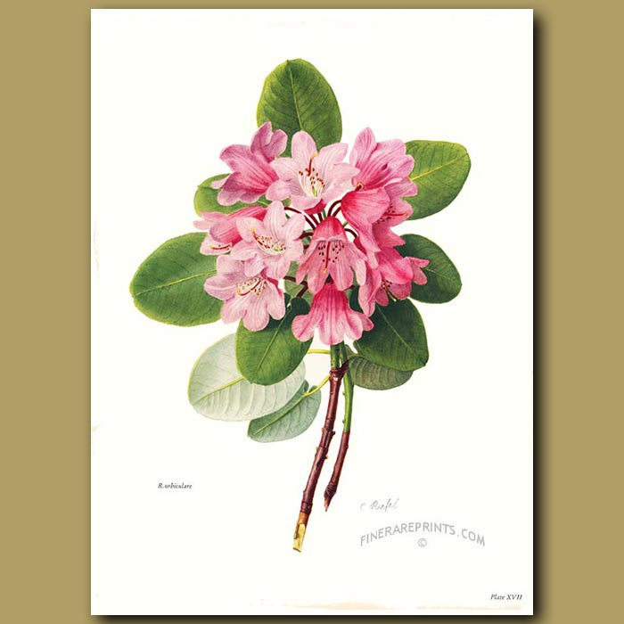 Antique print. Rhododendron Orbiculare