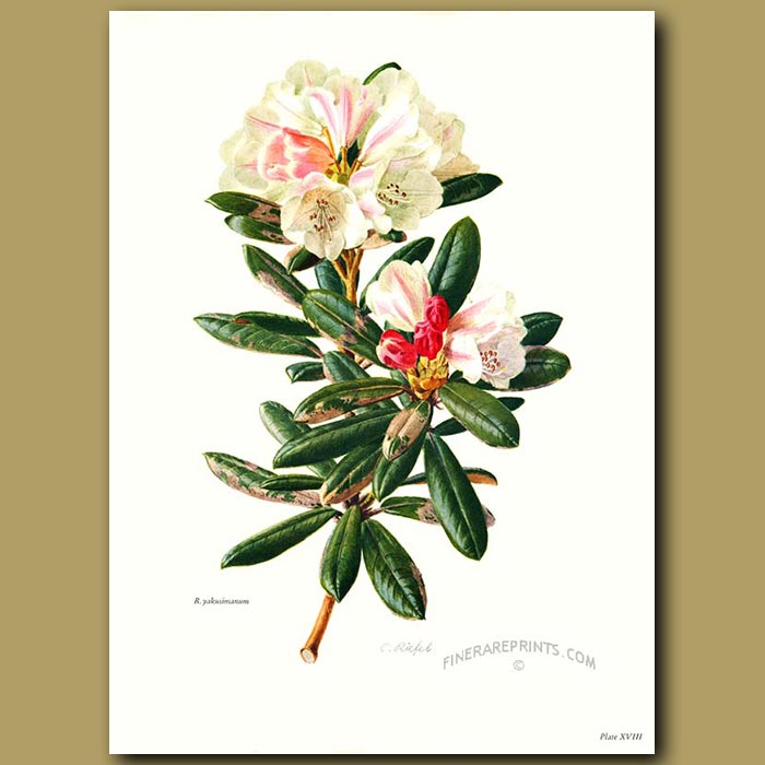 Antique print. Rhododendron Yakusimanum