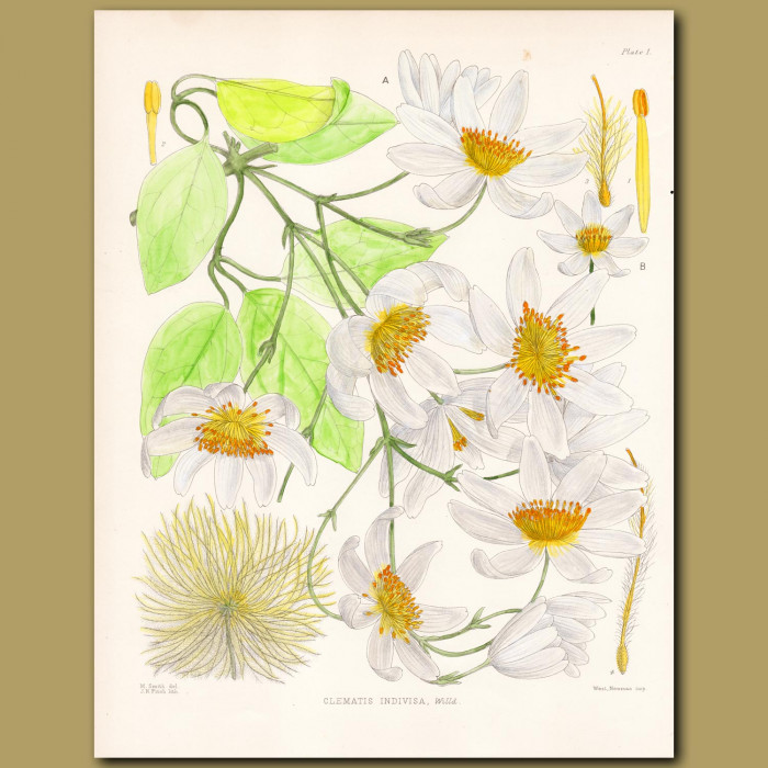 New Zealand Clematis: Genuine antique print for sale.