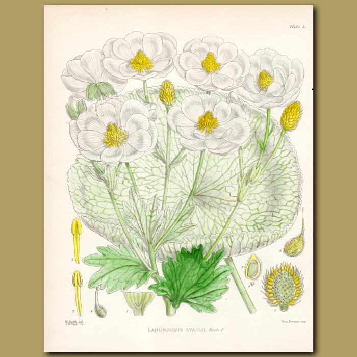 Mount Cook Buttercup: Genuine antique print for sale.