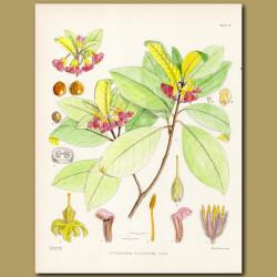 Pittopsorum ellipticum