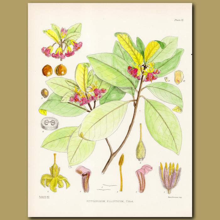 Pittopsorum ellipticum: Genuine antique print for sale.