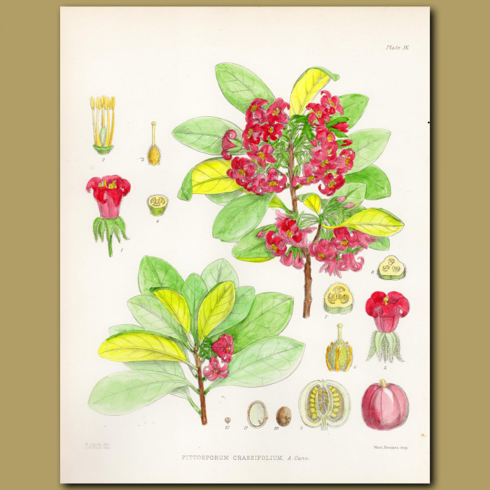Karo or Turpentine Tree: Genuine antique print for sale.