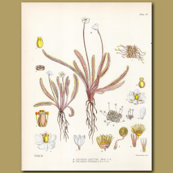 Carnivorous Sundew