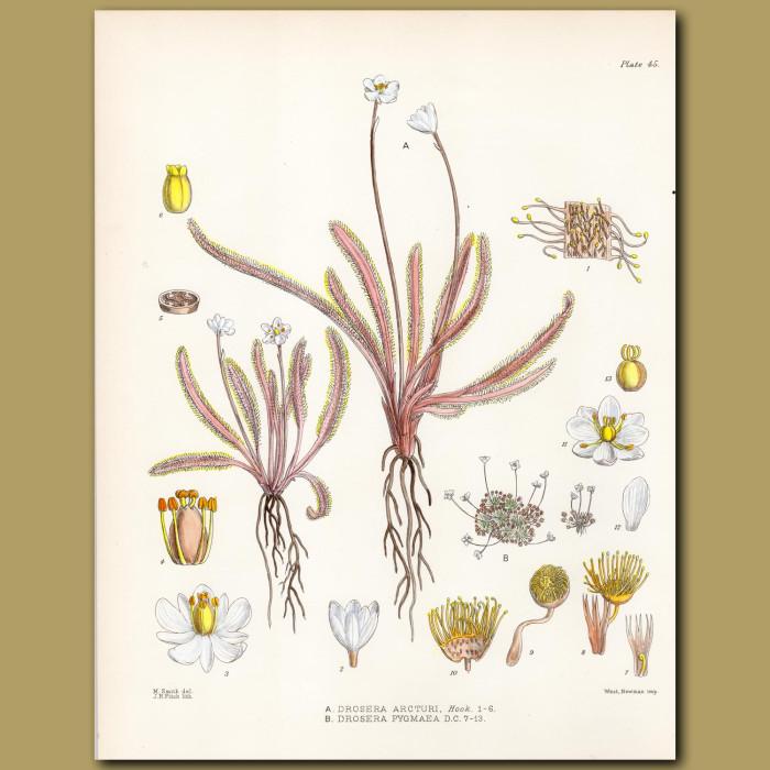 Carnivorous Sundew: Genuine antique print for sale.
