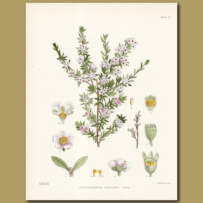 Great Barrier Island Tea Tree or Kanuka: Genuine antique print for sale.