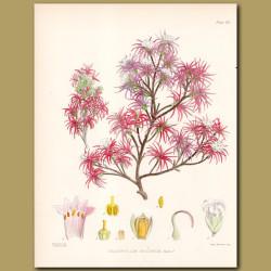 Curved Leaf Grass Tree or Neinei
