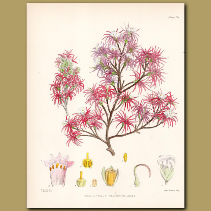 Curved Leaf Grass Tree or Neinei: Genuine antique print for sale.