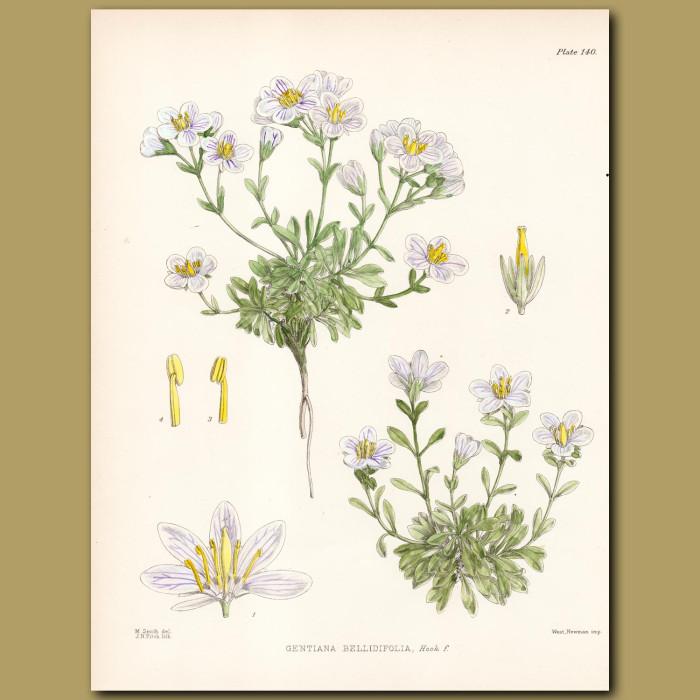 Alpine Gentian: Genuine antique print for sale.