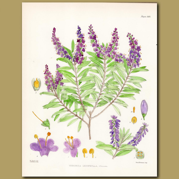 Veronica or Hebe: Genuine antique print for sale.
