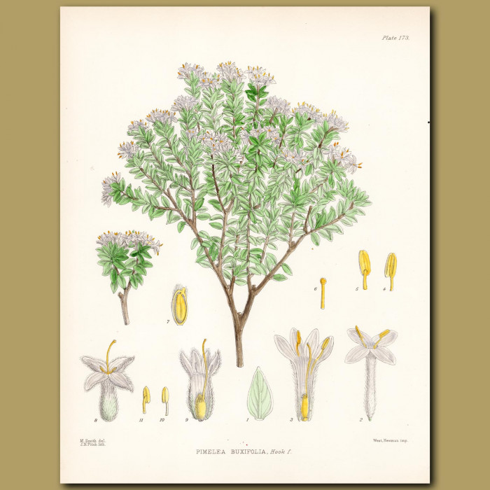 Rice Flowers: Genuine antique print for sale.