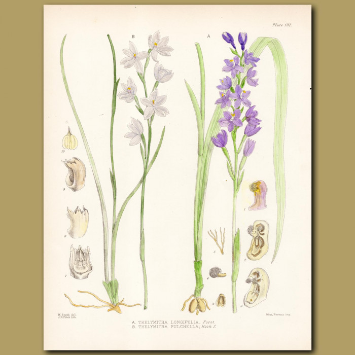 White Sun Orchid and Striped Sun Orchid: Genuine antique print for sale.