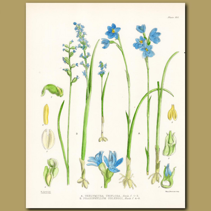 Swamp Sun Orchid and Leek Orchid: Genuine antique print for sale.