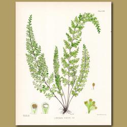 Fern: Lindsaya viridis