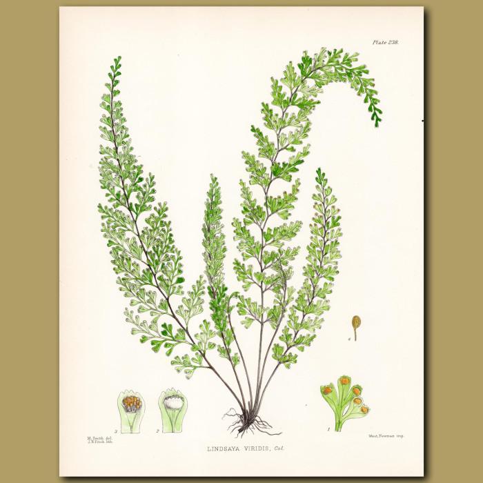 Fern: Lindsaya viridis: Genuine antique print for sale.