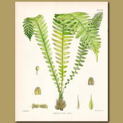 Fern: Lomaria dura
