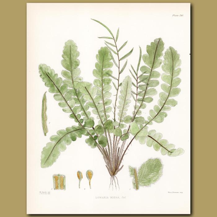 Fern: Lomaria nigra: Genuine antique print for sale.