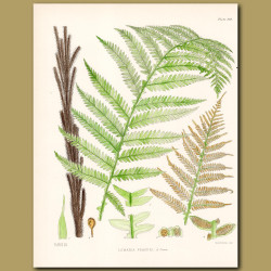 Fern: Lomaria Fraseri