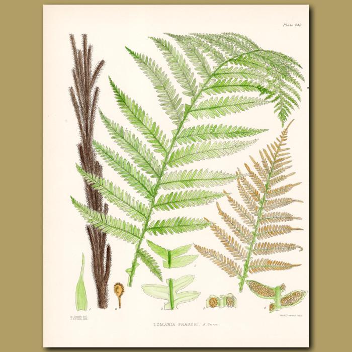 Fern: Lomaria Fraseri: Genuine antique print for sale.