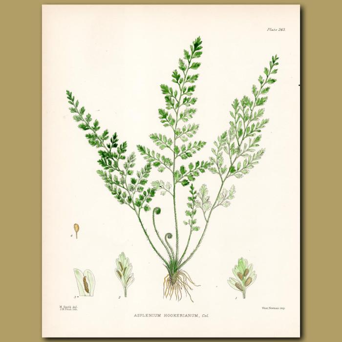 Maidenhair Fern: Genuine antique print for sale.