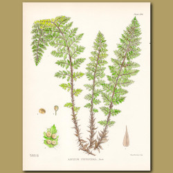 Fern: Spleenwort