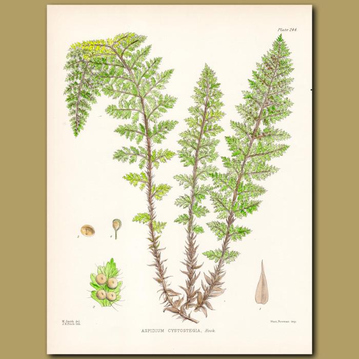 Fern: Spleenwort: Genuine antique print for sale.