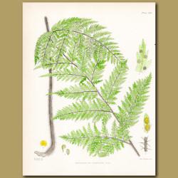 Fern: Nephrodium hispidum