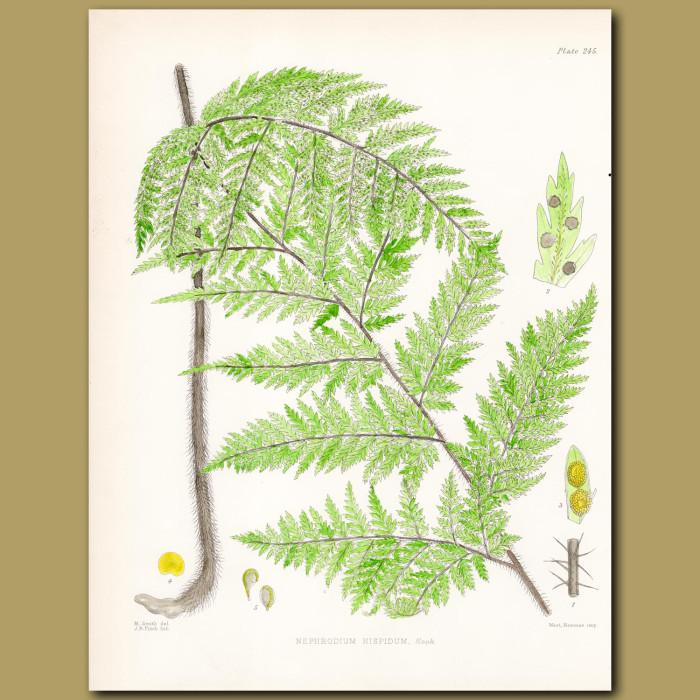 Fern: Nephrodium hispidum: Genuine antique print for sale.